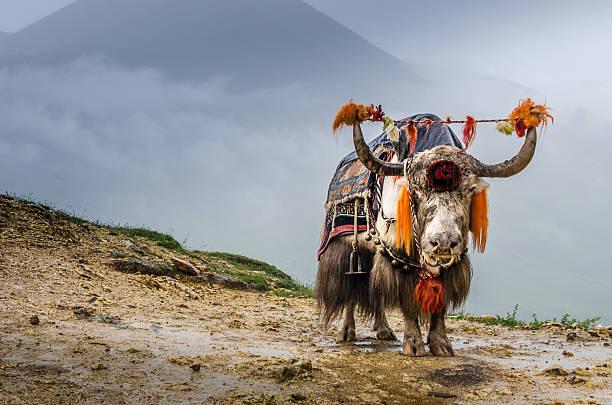 Tibetische Yak – Foto
