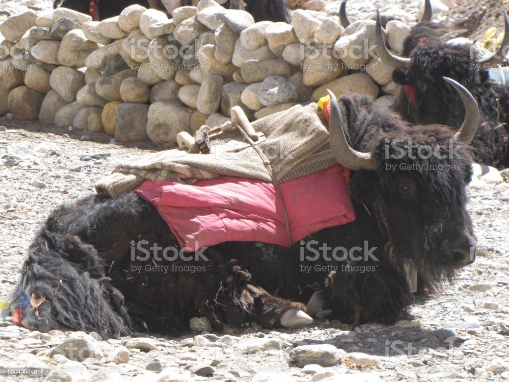 Tibetan Yaks stock photo