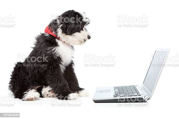 Tibetian terrier dog looking at a laptop picture id157564649?b=1&k=6&m=157564649&s=612x612&h=w 5kb7ksnt4zb4v1ftklcyt39rs5ayricn43xno55p0=