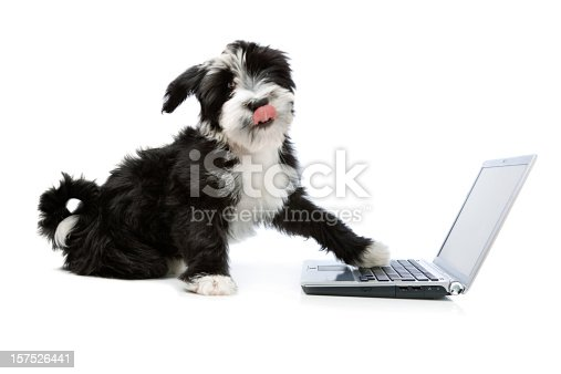 istock Tibetian terrier dog with a laptop 157526441