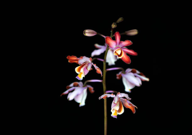 Tibicinis Orchid stock photo
