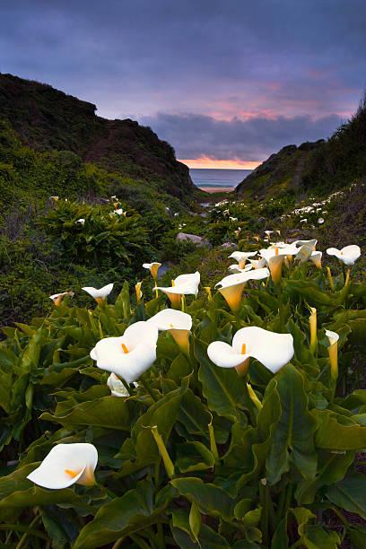 garrapata cala lillies - central coast california stock photos and pictures