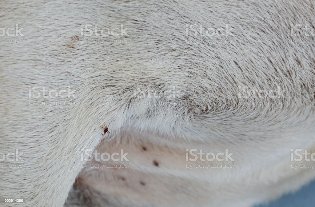tick climbing on dog body while sleeping for sucking blood foto stock royalty-free