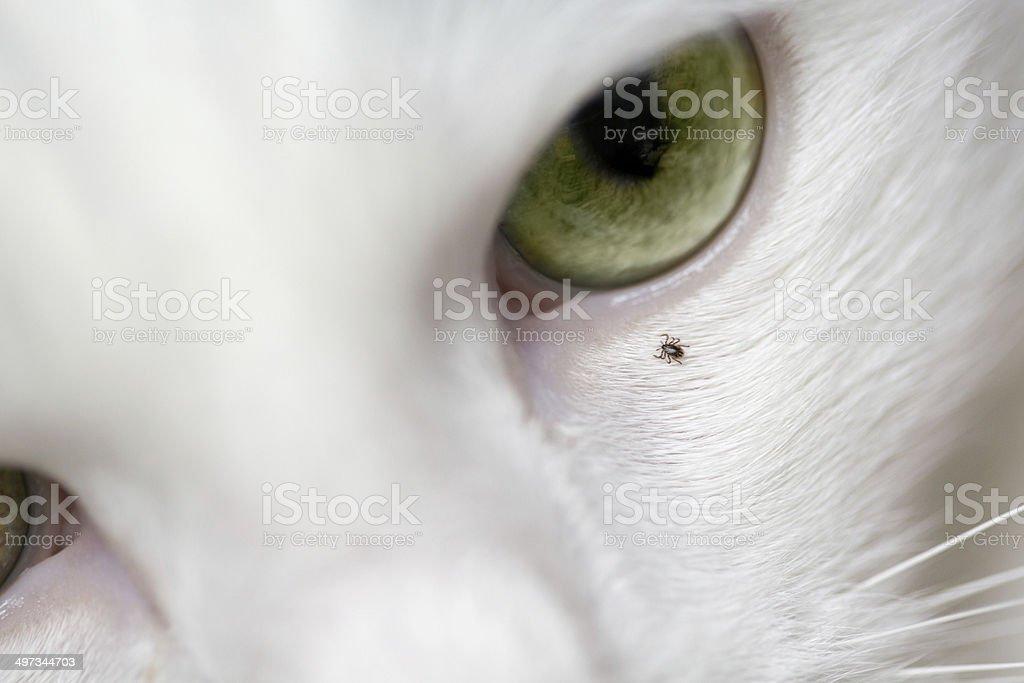 Tick Crawling on Cat stock photo