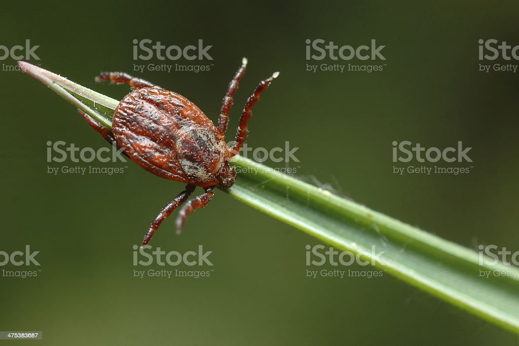 Tick - Dermacentor reticulatus stock photo