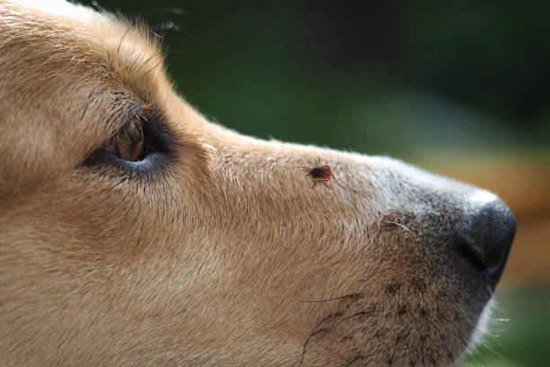 Tick encephalitis on the nose of the dog. A dangerous insect, a carrier of the disease stock photo