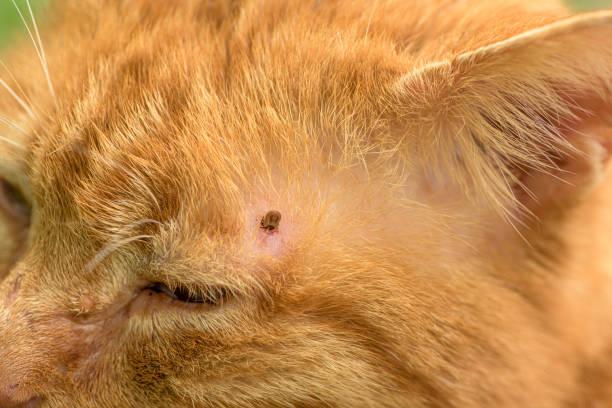 Zeckenfütterung auf Katze, Nahaufnahme – Foto