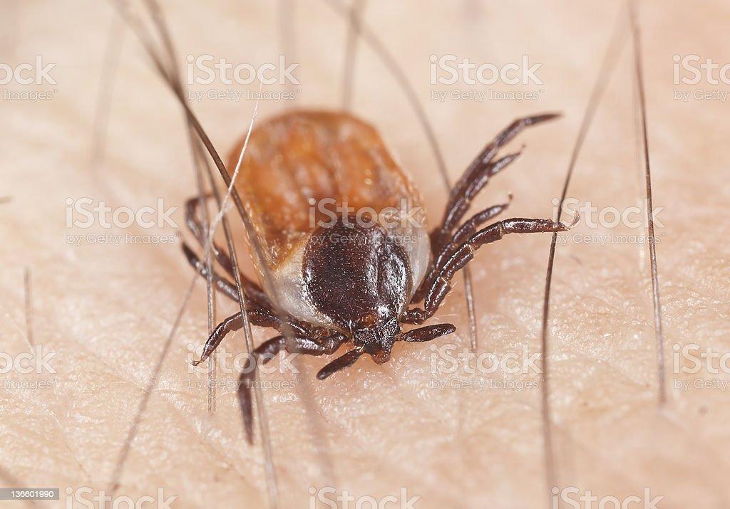 Tick feeding on human, extreme close up stock photo