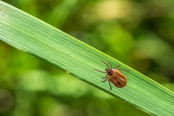 Tick filled with blood crawling on leaf of grass picture id831557554?b=1&k=6&m=831557554&s=612x612&w=0&h=5dnit2iefmv97q0ideyxyfxz6eshpk81rkpfcwtyg30=
