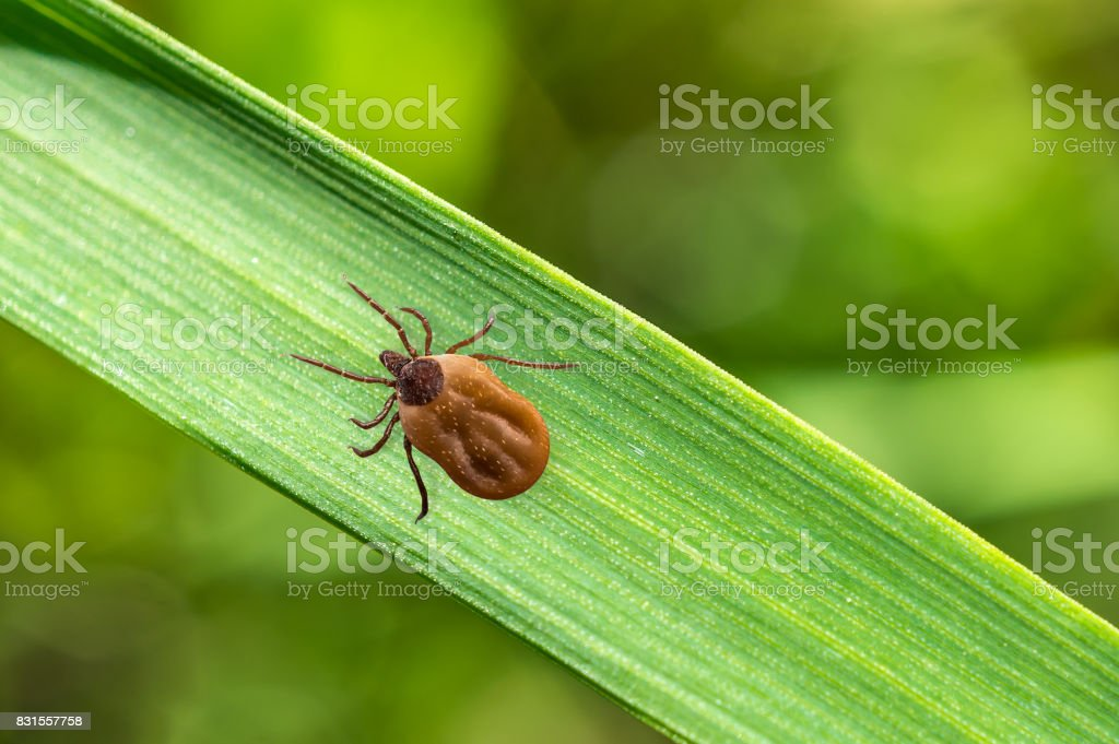 Tick filled with blood crawling on leaf of grass stock photo