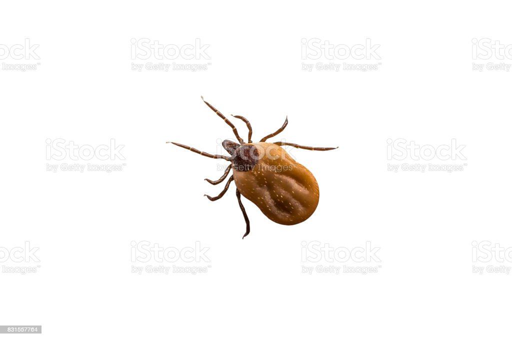 Tick filled with blood crawling on white background stock photo