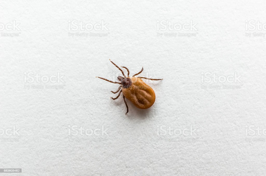Tick filled with blood crawling on white paper stock photo