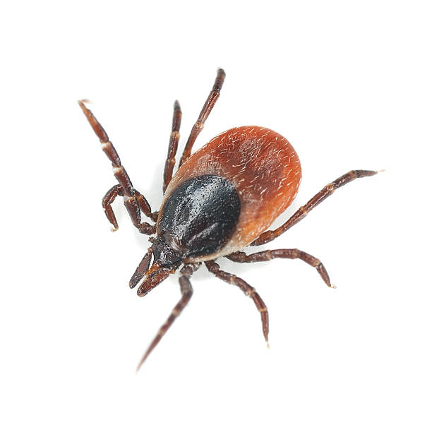 Tick isolated on white background, extreme close-up​​​ foto