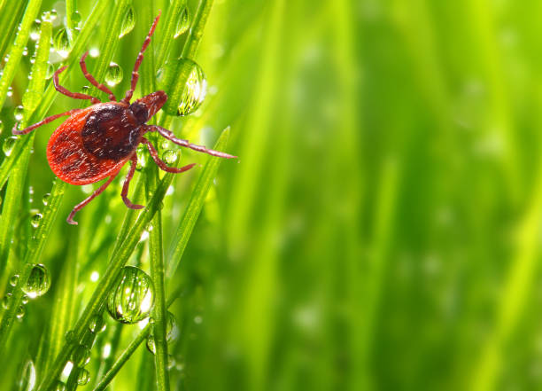 tick on green grass. dangerous parasite. this animal is vehicle of many infections. picture with copy space. - lapa imagens e fotografias de stock
