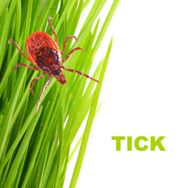 Tick on green grass. Dangerous parasite. This animal is vehicle of many infections. Picture with copy space. stock photo
