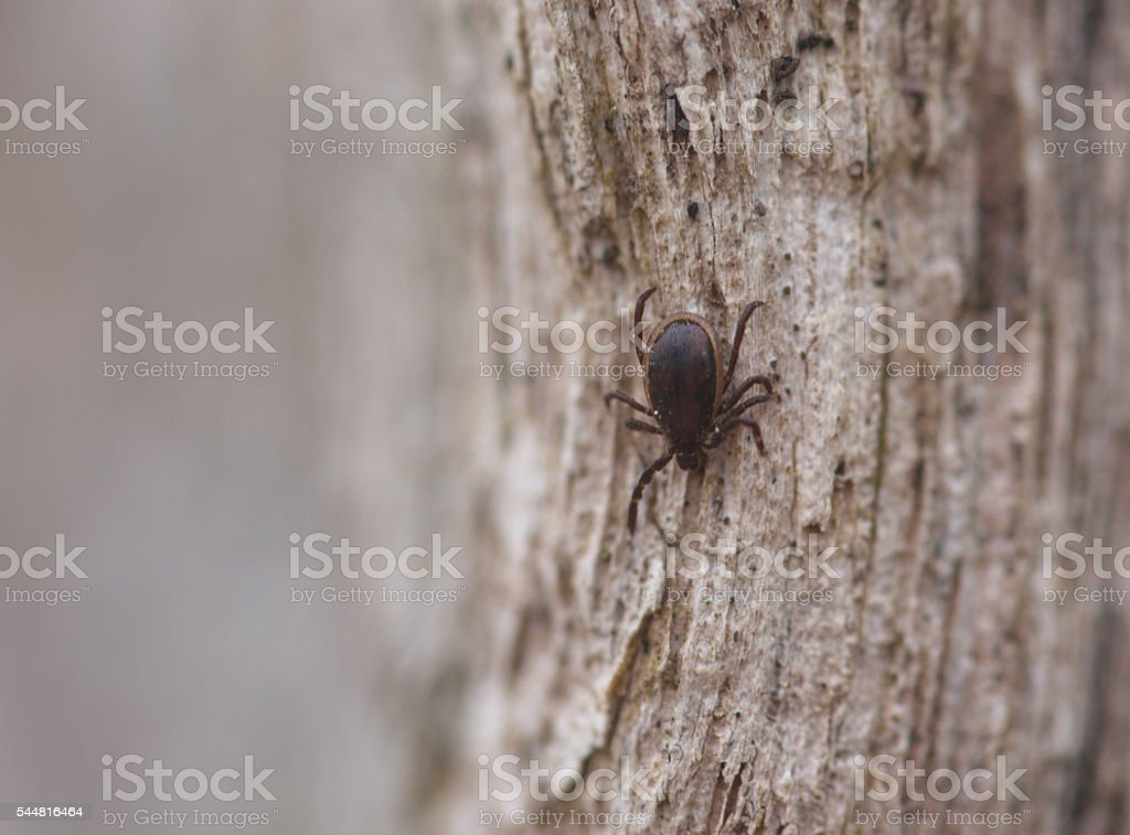 tick parasite nature warning macro stock photo