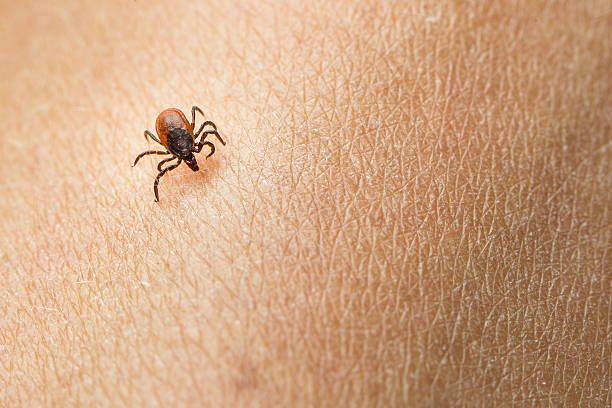 Tick - parasitic arachnid blood Tick - parasitic arachnid blood-sucking carrier of various diseases arachnid stock pictures, royalty-free photos & images