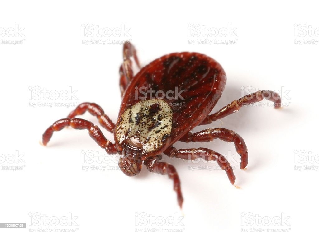 tick royalty-free stock photo