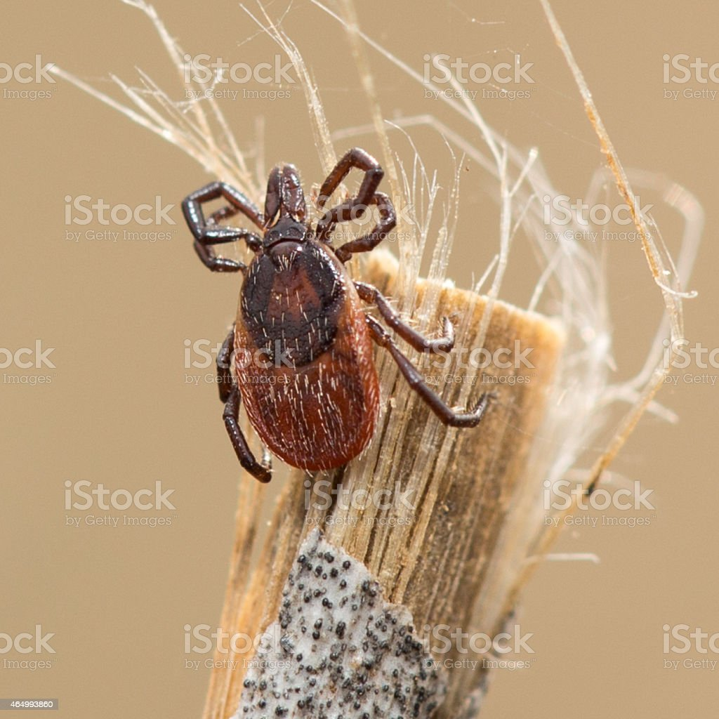Tick (Acari) stock photo