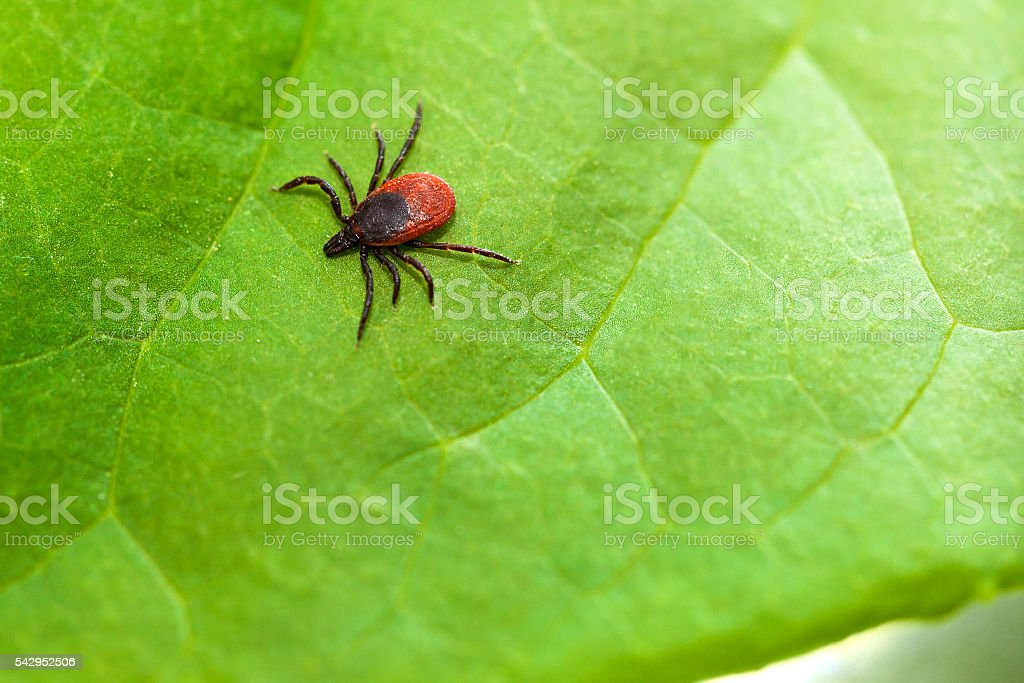 Tick (Ixodes Ricinus) stock photo