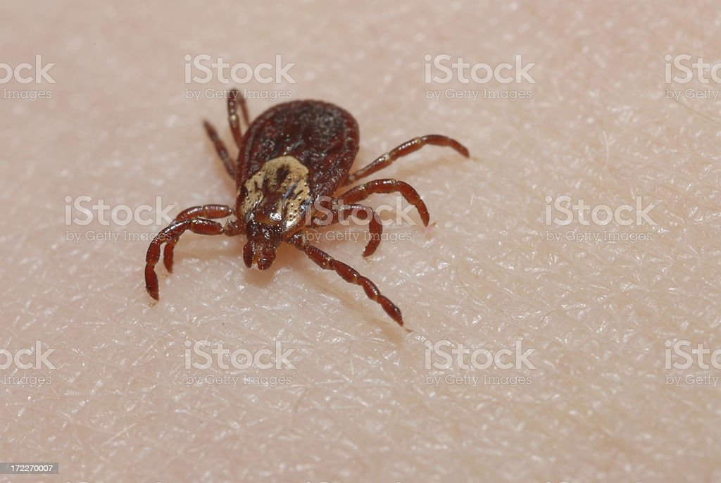 Tick Prepares to Bite stock photo