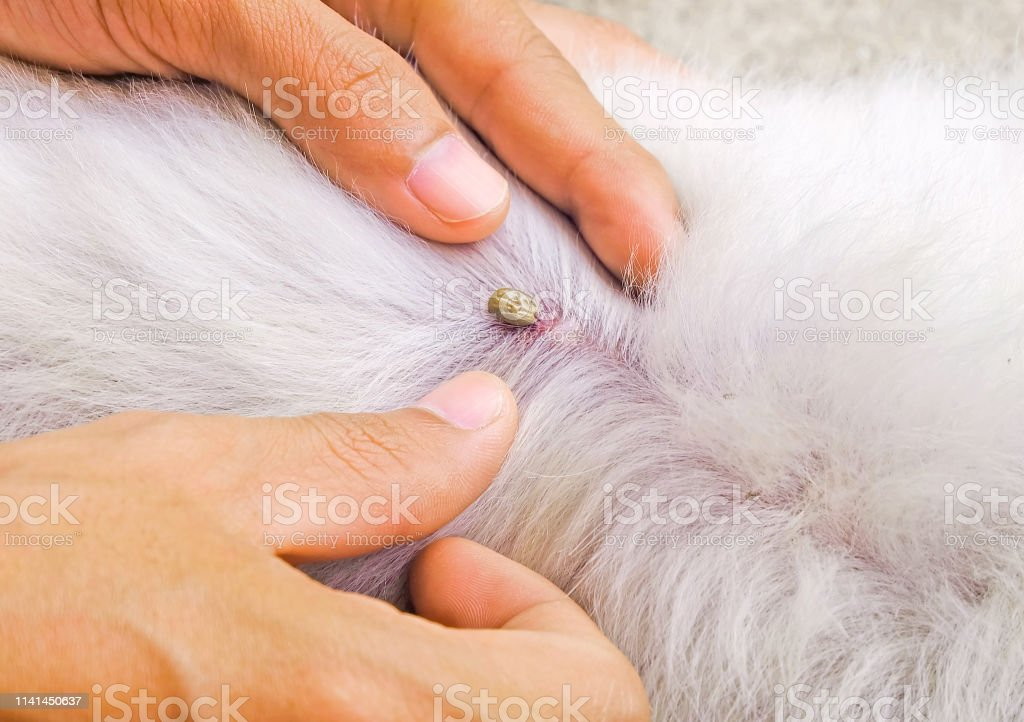 man try to pick tick sucking blood on dog back