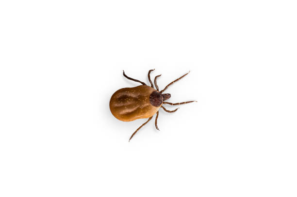 Tick with blood is crawling on white background stock photo