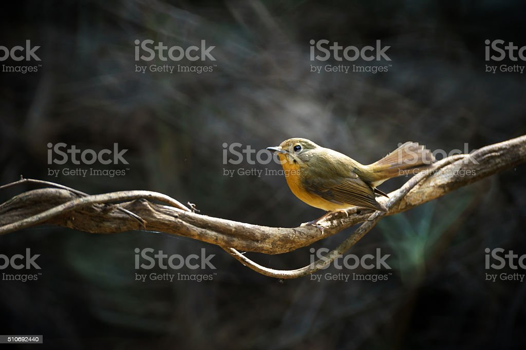 Tickell's Blue Flycatcher female stock photo
