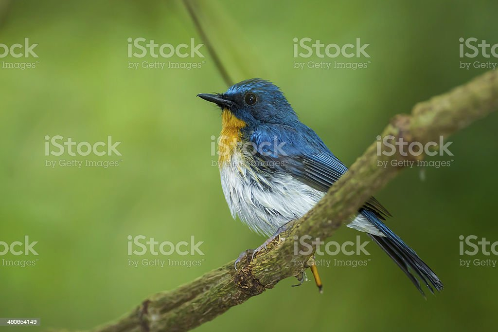 Tickell's Blue Flycatcher Tickell's Blue Flycatcher (Cyornis tickelliae) on the branch in nature Animal Stock Photo
