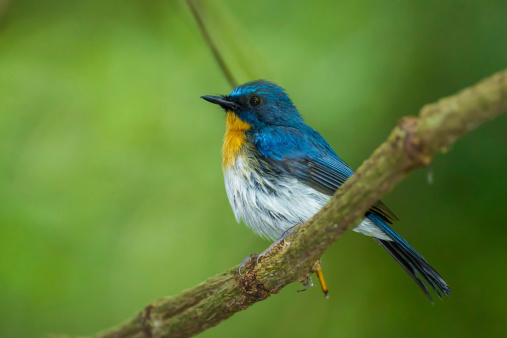Tickells Blue Flycatcher Stock Photo - Download Image Now