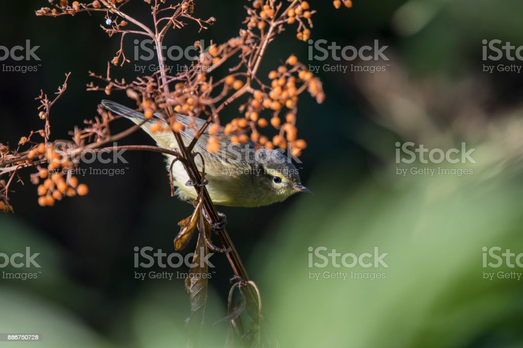 Tickell's leaf warbler stock photo
