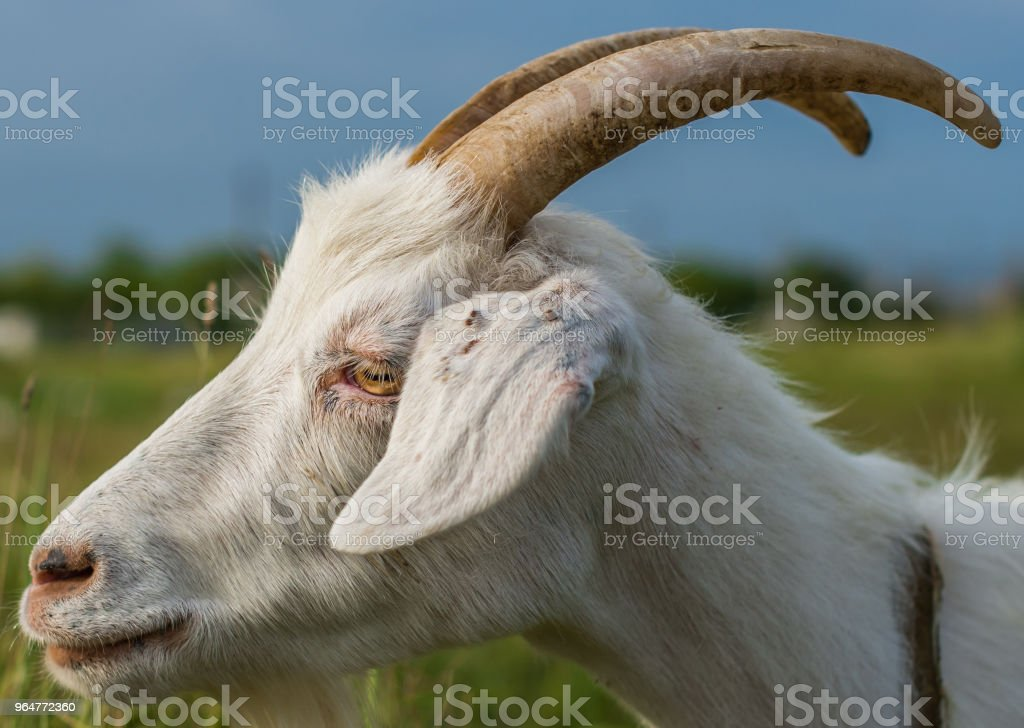Ticks attached to the ear of a white domestic goat. royalty-free stock photo