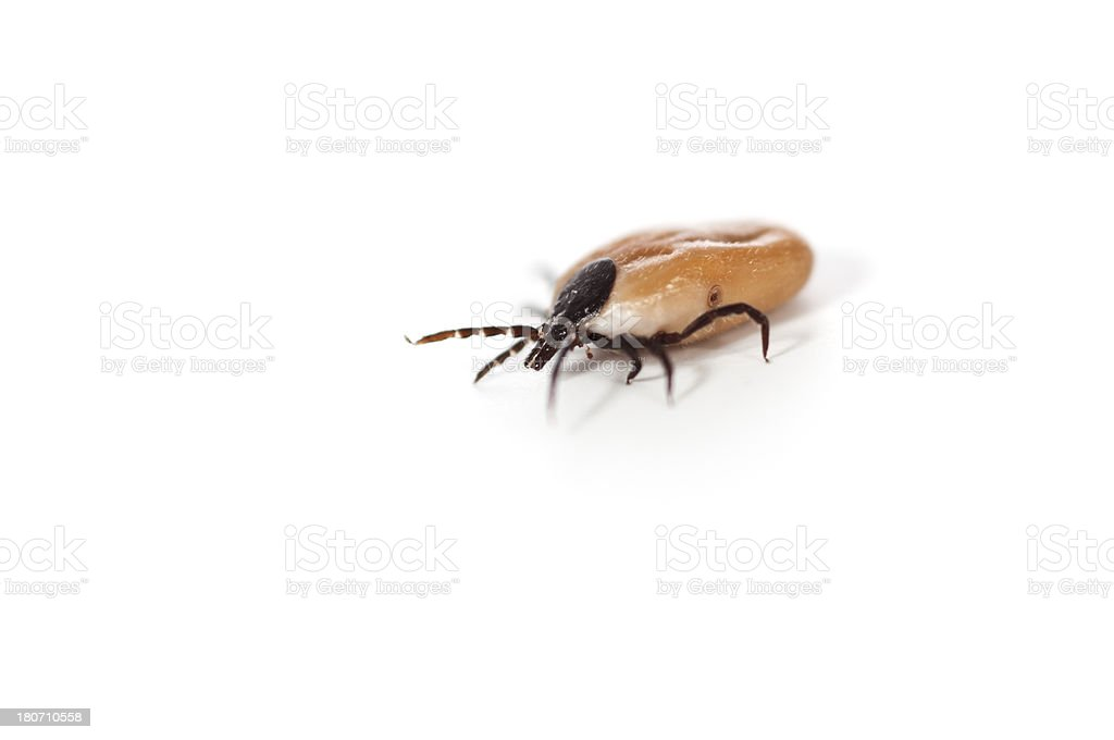 Ticks - bloodsucking insect stock photo