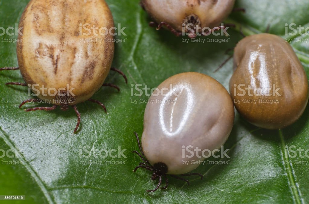 Ticks filled with blood sit on a green leaf stock photo