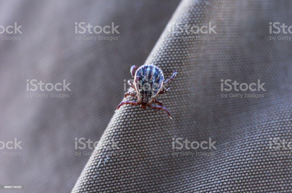 Zecken auf der Kleidung. Blutsaugende Insekten. – Foto