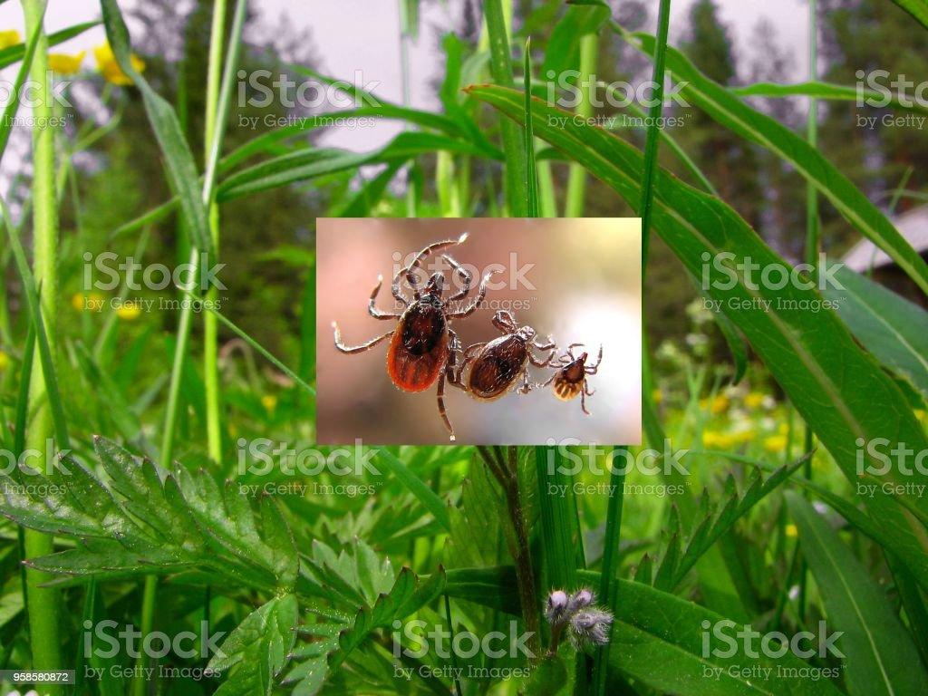 Ticks stock photo