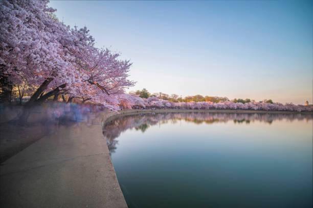 Gezeitenbecken in Serene-Einstellung mit Kirschblüten – Foto