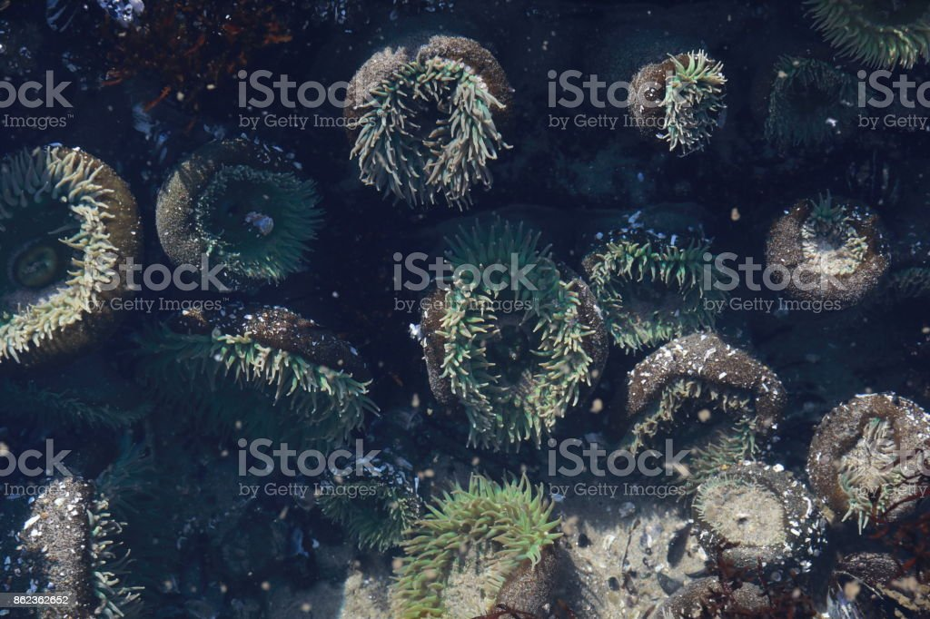 A tidal pool filled with sea anemones and mussels on the West Coast Oregon USA stock photo