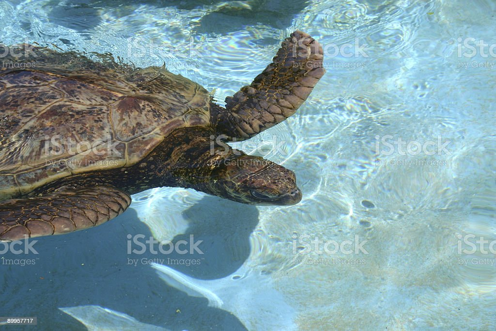 Tide Pool Turtle stock photo