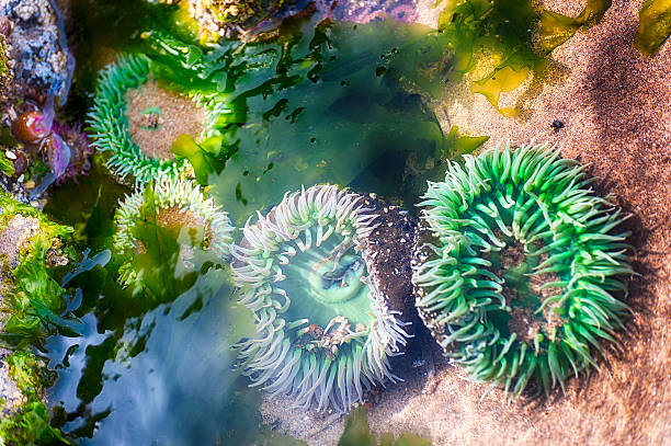 Tidepool with colorful anemones stock photo