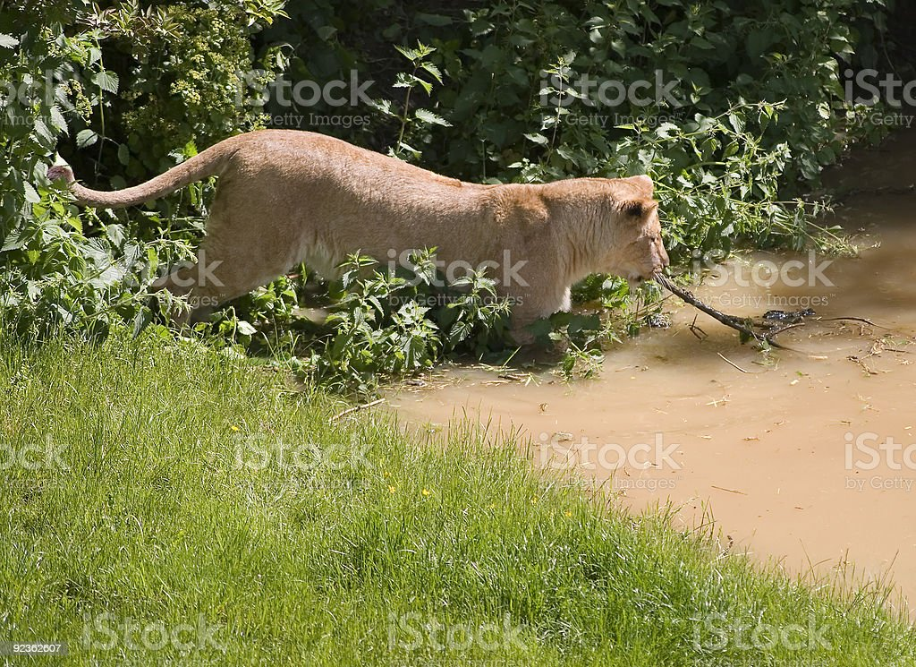 Ordentlich Lion Lizenzfreies stock-foto