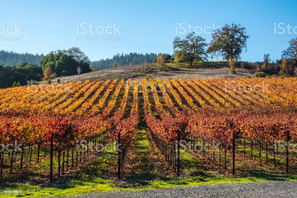 Tidy vineyard stock photo
