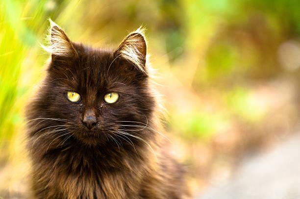 Tiffany Chantilly Cat stock photo