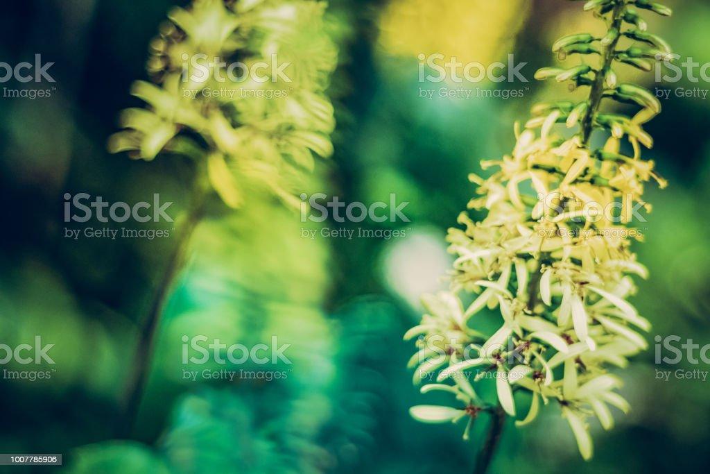 Tige florale - ligularia - Photo