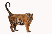 Tiger standding on white background.
