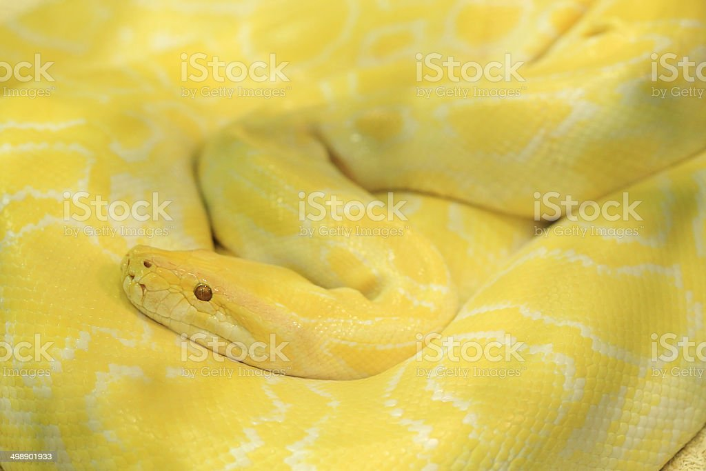 Tiger albino python snake, yellow viper royalty-free stock photo