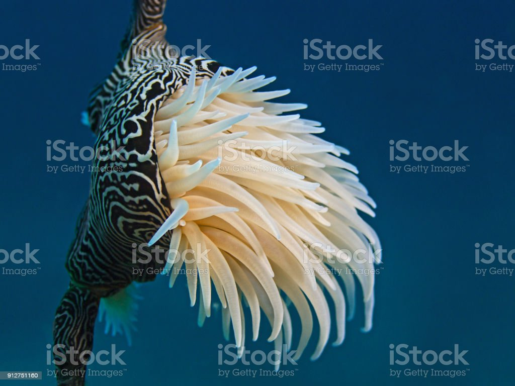 Tiger Anemone (Nemanthus annamensis) stock photo