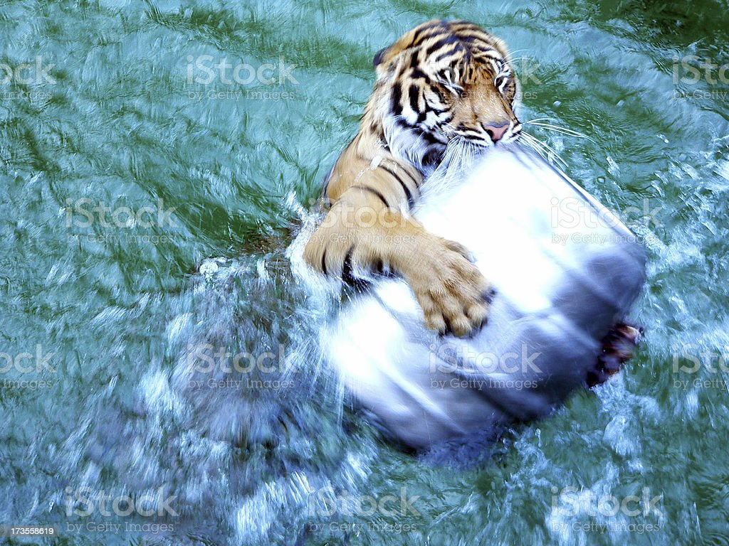 Tiger Attack stock photo