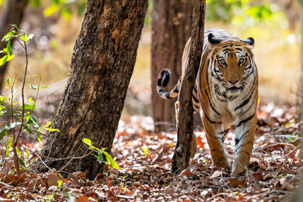 Tiger Bandhavgarh India Tiger walking in the forest of Bandhavgarh National Park in India wildlife reserve stock pictures, royalty-free photos & images