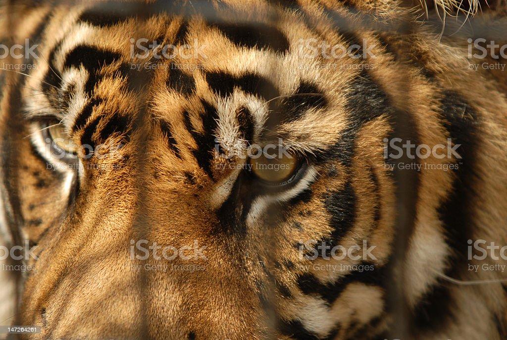 Tiger Bars royalty-free stock photo